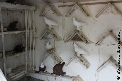 Насесты для голубей внутри голубятни