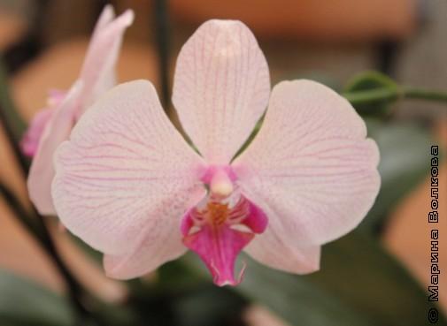 Орхидея. Кабинет директора
