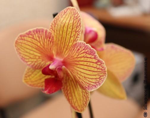 Ещё орхидея