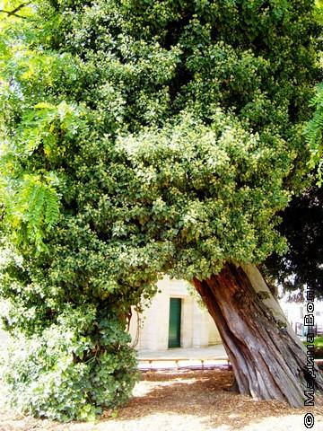 Старое дерево в Париже