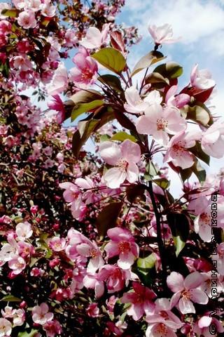 Парящая кипень от яблоневых крон