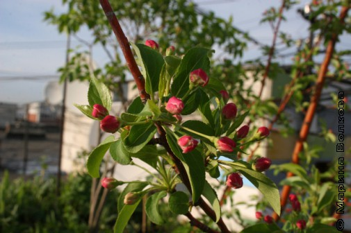 Яблоня на крыше