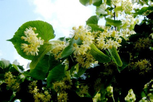 Раскинут сеть невзрачные цветы