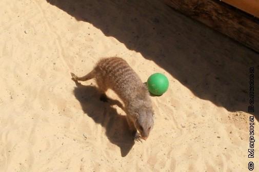 Мангуст. А на мячик охотиться приятнее, чем на змей