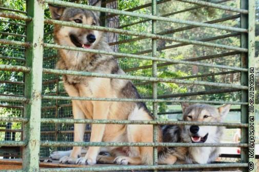 Очаровательные волки