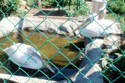 Ещё о птичках - пеликаны