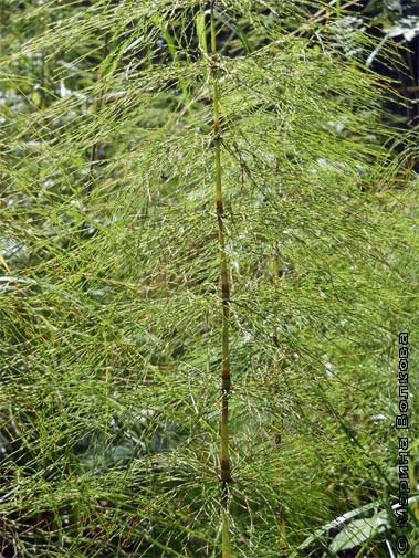 Заросли лесного хвоща - одного из древнейших растений