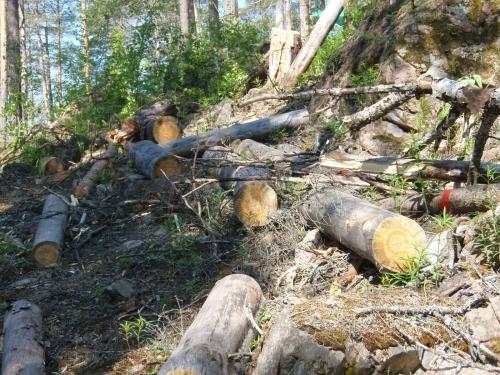 В Карелии есть большая проблема - вырубка лесов