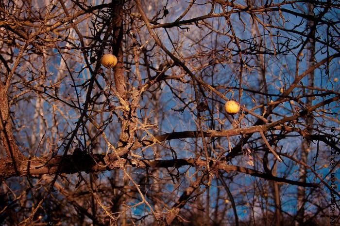 Яблоки в Смолевичах, 4 декабря