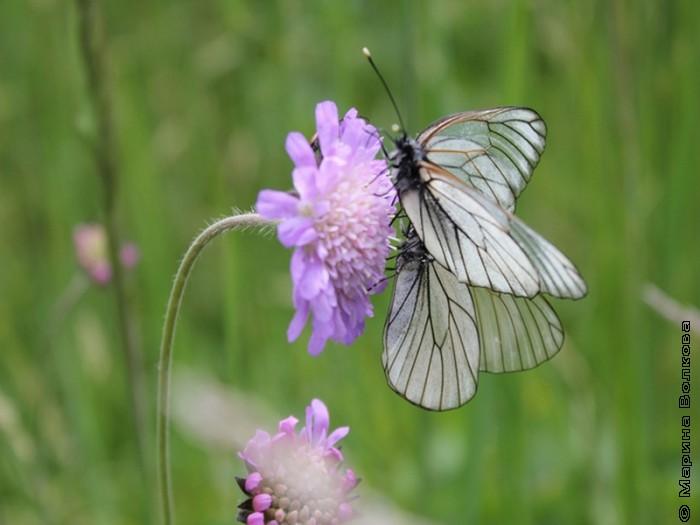 Бабочкина любовь