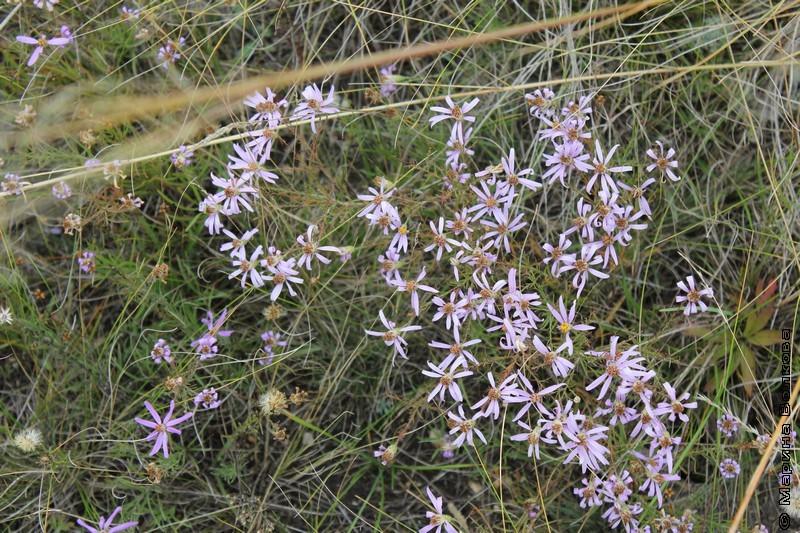 Растения магнитогорской степи