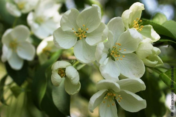 Яблони - белое цветенье