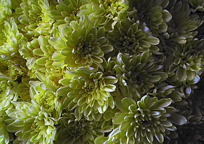 Смотр осенних цветов хризантем