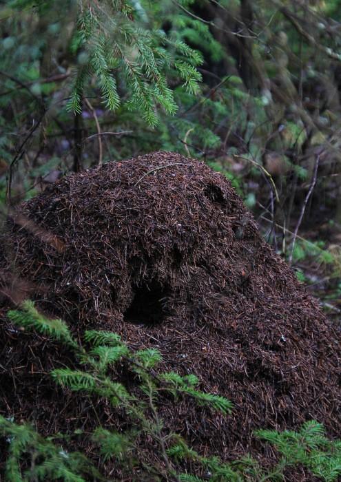 Кто разоряет муравейники