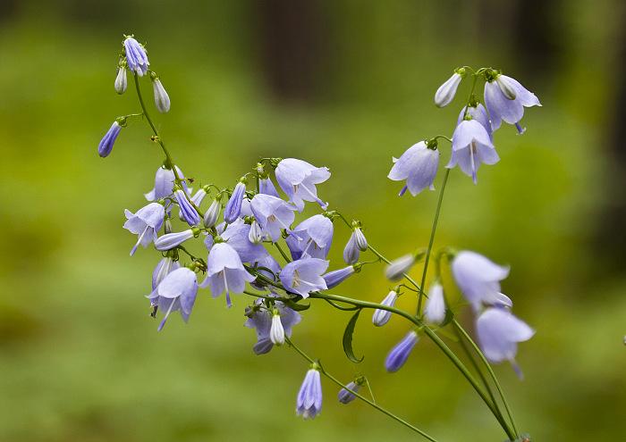 Цветики лесные