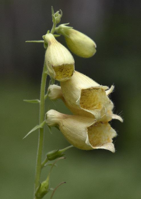Хищноватый цветочек