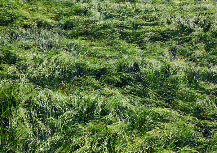 Молодая пшеница