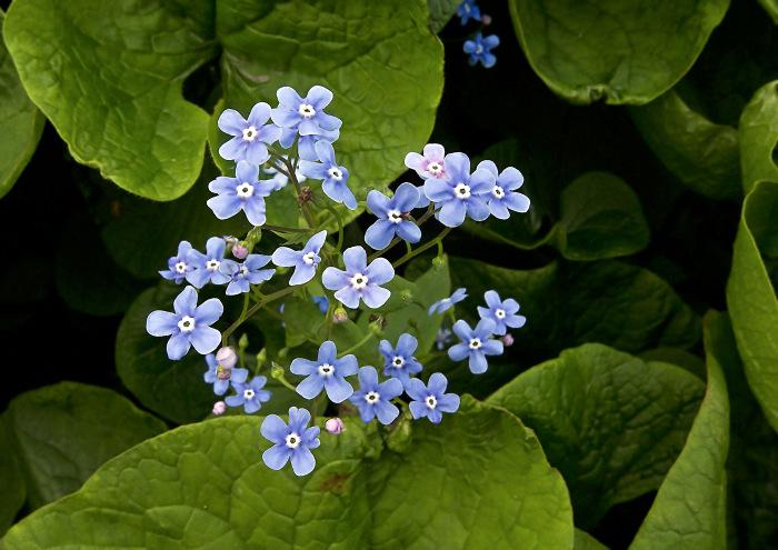 Незабудочка цветочек