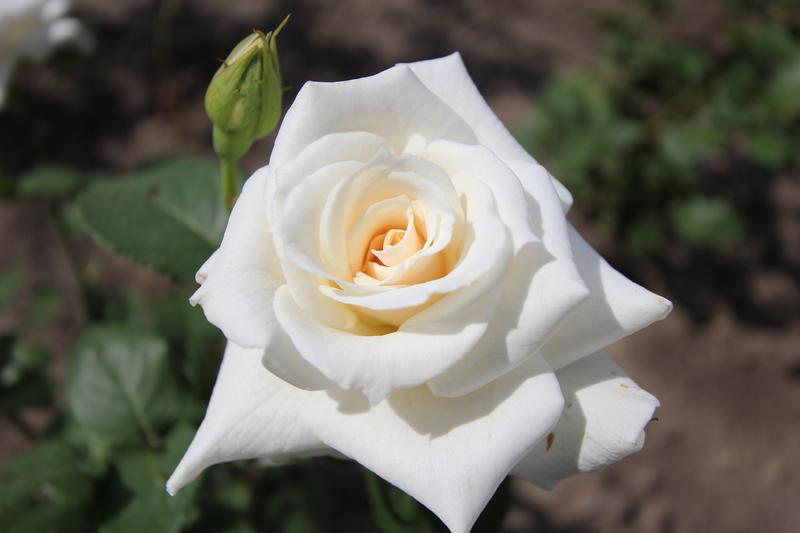 Кремлевская роза