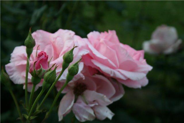 Роза с бутонами в пражском парке