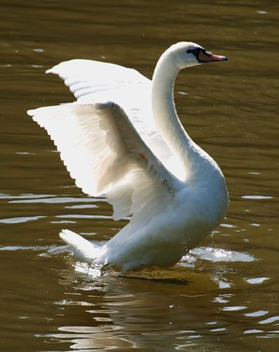 Лебедь с подрезанными крыльями