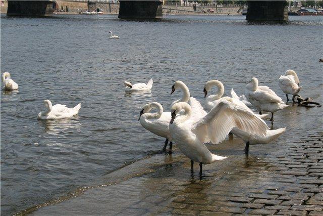 Лебеди чистят перышки