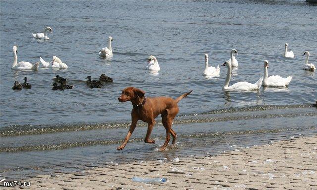 Собака и лебеди