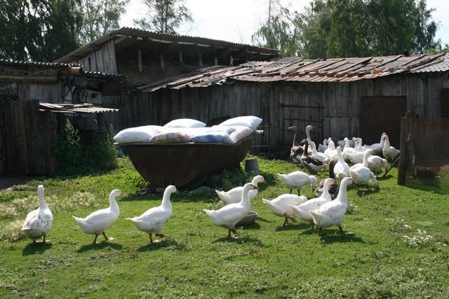 Гуси, пуховые подушки на дворе