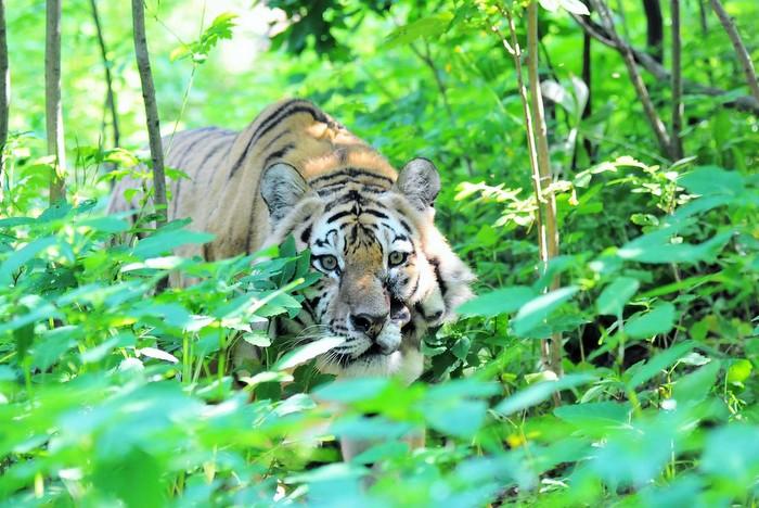 Всероссийской акции «Тигриная тропа»